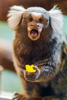 Lemon Marmoset