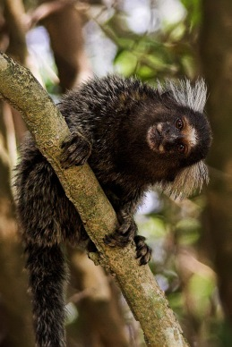 Marmoset_copy